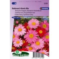 Chrysanthemum coccineum Robinsons Giants mix Margriet