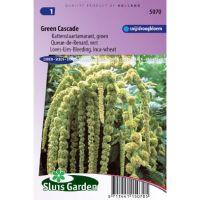 Amaranthus caudatus green cascade zaden