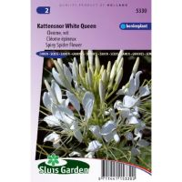 Cleome spinosa white queen Kattensnor